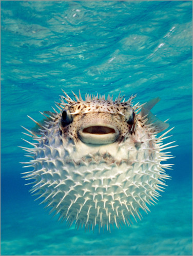 Juliste Inflated puffer fish