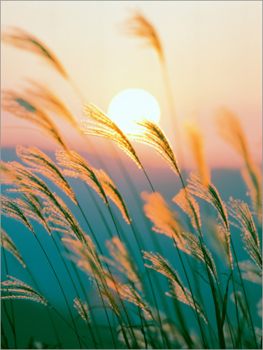 Juliste Reed in the sunset