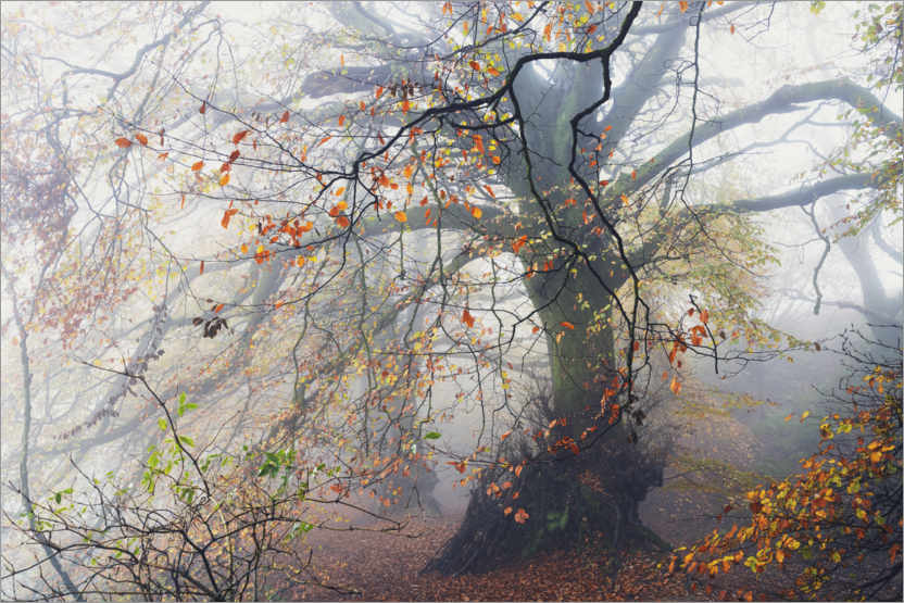 Juliste Big beech tree with autumn colors in the fog in England
