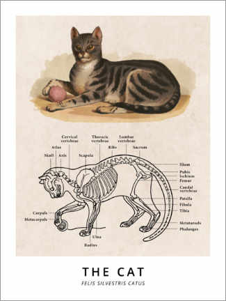 Canvas-taulu  The Cat, Diagram (Vintage) - Wunderkammer Collection