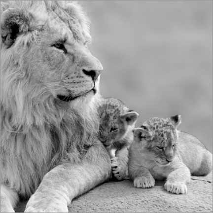 Akryylilasitaulu  Young lions black and white