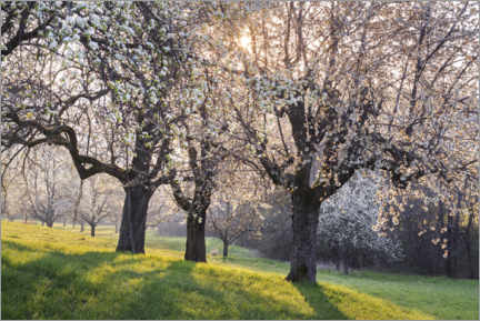 Akryylilasitaulu  Blossoming cherry trees in the light of the rising sun - The Wandering Soul