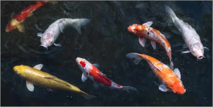 Canvas-taulu  Colorful koi carp in the pond - Jan Christopher Becke