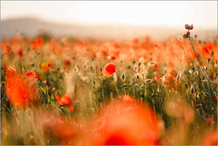 Juliste Field of poppies in the sunset