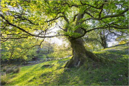 Juliste  Imposing tree in spring with sunlight in England - The Wandering Soul