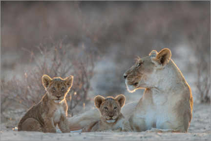 Akryylilasitaulu  Lioness with two cubs - Matthias Graben