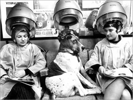 Canvas-taulu  Dog with curlers at the hairdresser's - John Drysdale