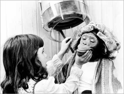 Canvas-taulu  Girl combs chimpanzee with curlers - John Drysdale
