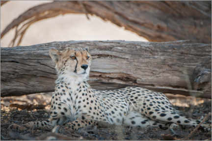 Canvas-taulu  Cheetah rests in the shade