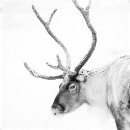 Galleriataulu  Reindeer in the Arctic - Matthew Williams-Ellis
