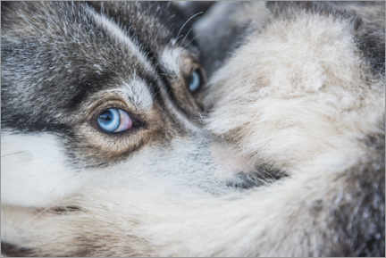 Juliste Dog eyes in the arctic circle