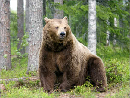 Juliste European brown bear