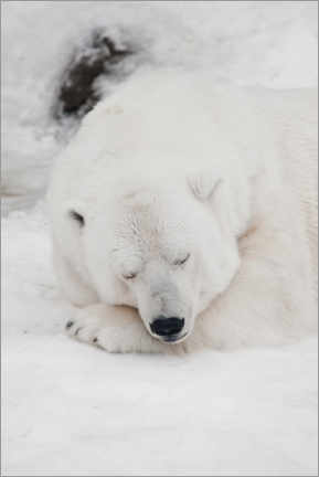 Puutaulu  Relaxed polar bear settled down to sleep - Mikhail Semenov
