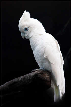 Puutaulu  Beautiful white cockatoo - Mikhail Semenov