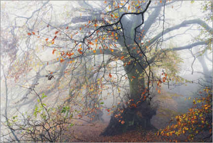 Galleriataulu  Big beech tree with autumn colors in the fog in England - The Wandering Soul