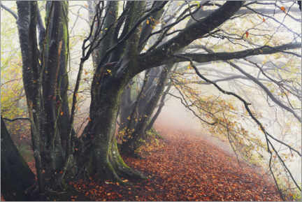 Juliste Wondrous beeches in autumn and fog in England