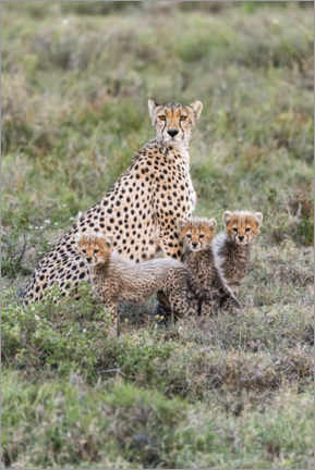Canvas-taulu  Cheetah mother with cubs - Jaynes Gallery
