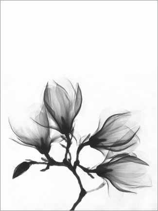 Akryylilasitaulu  X-ray image of a magnolia - Wunderkammer Collection