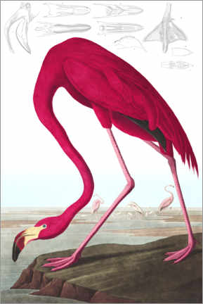 Sisustustarra  American flamingo, The Birds of America - John James Audubon