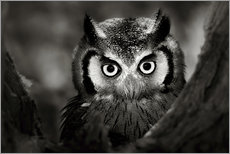 Galleriataulu  White-faced Owl perched in a tree - Johan Swanepoel