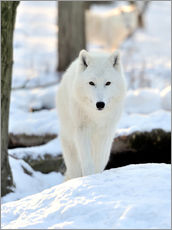 Sisustustarra  Beautiful white wolf in the winter