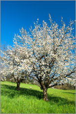 Juliste Blossoming cherry trees on the field
