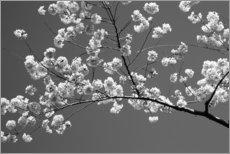 PVC-taulu  Cherry blossom in black and white