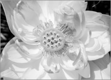 Puutaulu  Lotus flower in black and white
