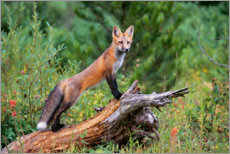 PVC-taulu  Fox steals from a tree trunk