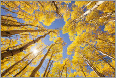 Sisustustarra  Autumn-colored aspen forests of Colorado - The Wandering Soul
