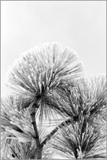 Juliste Pine branch with frost crystals