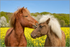 Juliste Icelandic horses cuddle in a spring meadow