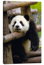 Canvas-taulu  Panda relaxes on a fence - Pete Oxford