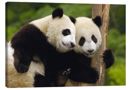 Canvas-taulu  Young pandas at tree trunk - Pete Oxford