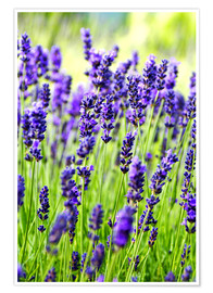 Juliste  Lavender on a meadow - Rob Tilley