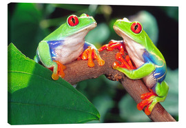 Canvas-taulu  Two red-eyed tree frogs - David Northcott