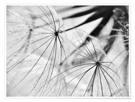 Juliste Dandelion black and white