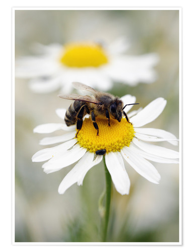 Juliste Bee on the camomile lawn