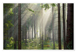 Juliste Sun rays in the forest
