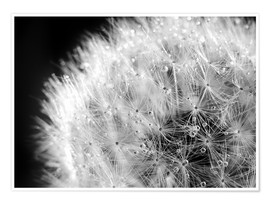 Juliste Dandelion dew drops black and white