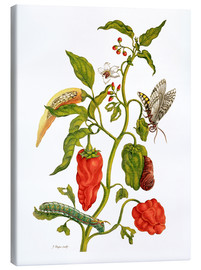 Canvas-taulu  Peppers and insects - Maria Sibylla Merian