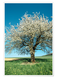 Juliste Blossoming cherry tree in spring on green field with blue sky