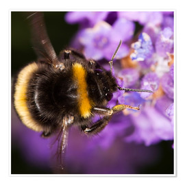 Juliste  Bumble bee collecting pollen - Power and Syred
