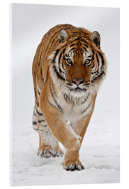 Akryylilasitaulu  Siberian Tiger in the snow - James Hager