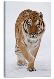 Canvas-taulu  Siberian Tiger in the snow - James Hager