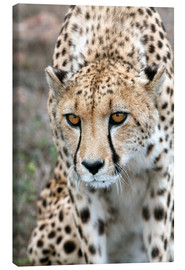 Canvas-taulu  Cheetah on foray, South Africa - Fiona Ayerst