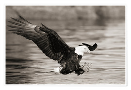 Juliste Bald Eagle Hunting