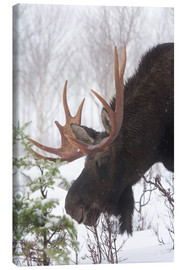 Canvas-taulu  Moose in Winter - Philippe Henry
