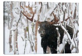Canvas-taulu  Elk sniffing in a winter forest - Philippe Henry
