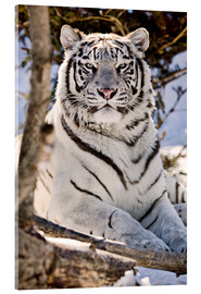 Akryylilasitaulu  White Bengal Tiger - Chad Coombs